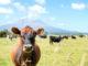 Nova Zelândia investirá US$ 16,7 milhões em programa de genética bovina | Garra International